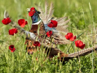 pheasant-poppies-italy_61076_990x742