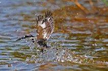 Pied Kingfisher (2)