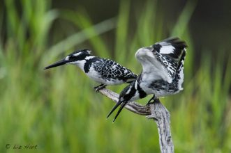 Pied Kingfisher (3)