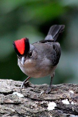 Pileated Finch