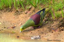Pompadour Green Pigeon in Sri Lanka
