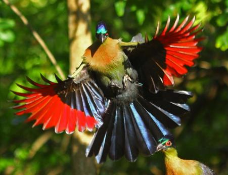 Purple Crested Turaco