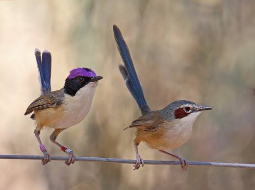purple crowned fairy wrens.