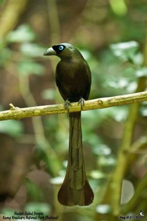 Racket-Tailed Treepie by Meerkat