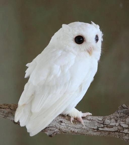 Rare Albino screech owl