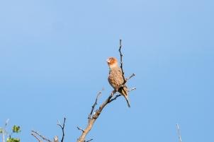 Read Headed Finch