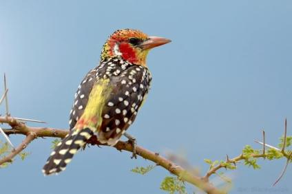 Red-and-yellow Barbet - Trachyphonus erythrocephalus © by Krzysztof Błachowiak