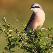 Red-backed Shrike photographed by Nobby Clarke