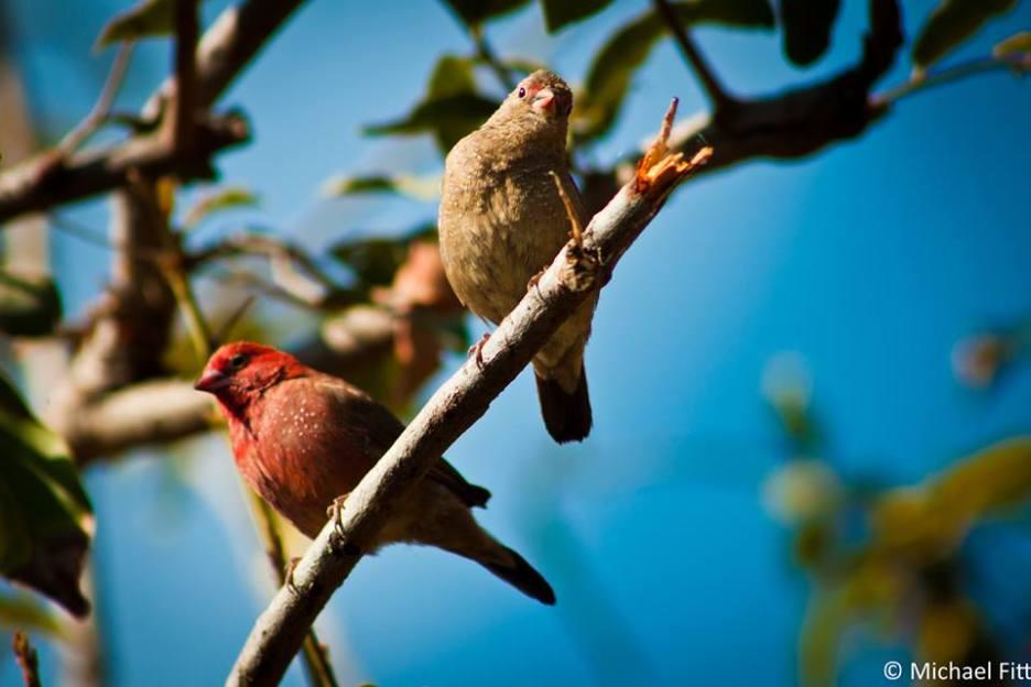 Red-billed Firefinch - Lagonosticta senegala