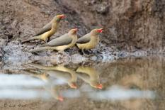 Red-billed Oxpeckers having a drink at the waterhole