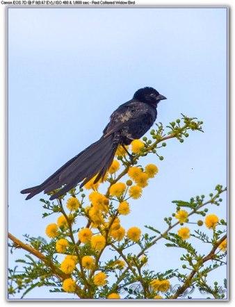 Red Collared Widow Bird - Wild Bird Trust's photo.