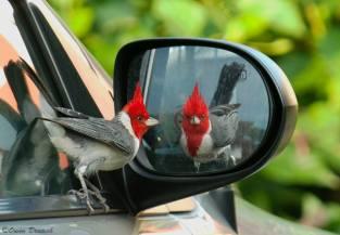Red-crested Cardinal - Paroaria coronata - by Owen Deutsch