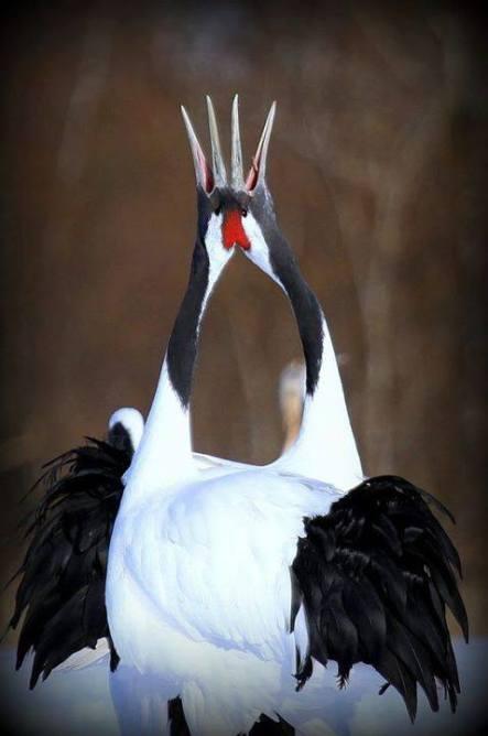 Red Crowned Cranes (Japan)