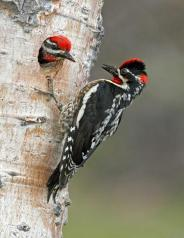 Red-naped Sapsucker - Sphyrapicus nuchalis - in Canada by Graeme Guy