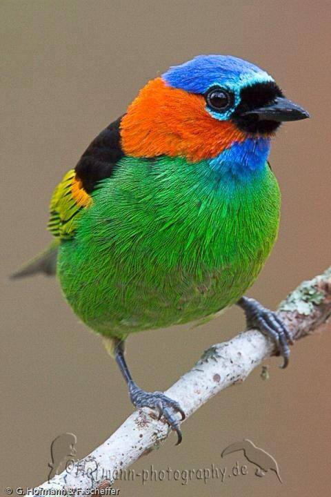 Red-necked Tanager - Tangara cyanocephala