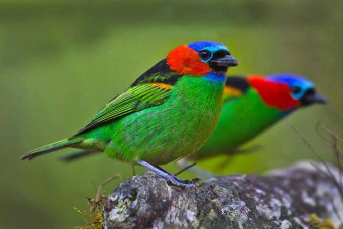 RED NECKED TANAGERS