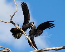 Red Tailed Black Cockatoos - By Sandy Carroll