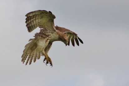 Red Tailed Hawk - Photo and caption by zlatko muminovic