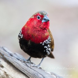 Red-Throated Twinspot.