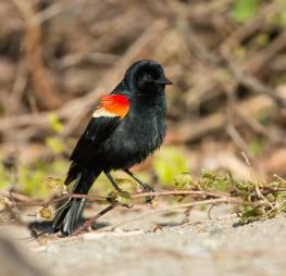 Red-winged Blackbird (2)