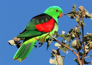 Red Winged Parrot - By birdwatchingdaily