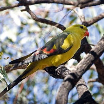 Regent Parrot by World Parrot Trust