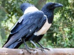 Rhodesian Crow