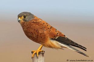Rock Kestrel by www.hardaker.co.za
