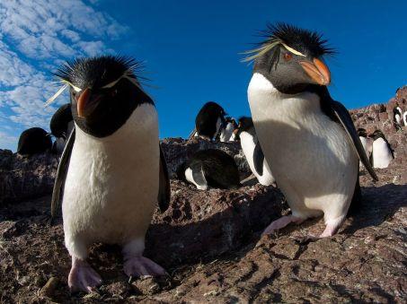 rockhopper-penguins-argentina_28395_990x742
