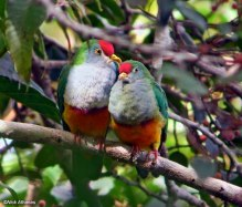 Rose Crowned Fruit Doves - By Nick Athanas