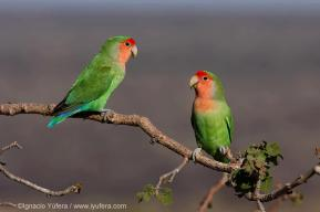 Rosy-Faced Lovebirds in the Erongo mountains of Namibia. Photo by Ignacio Yufera.