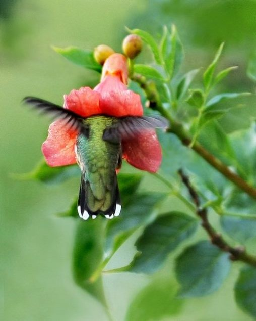 Ruby-throated Hummingbird in Trumpet Creeper flower