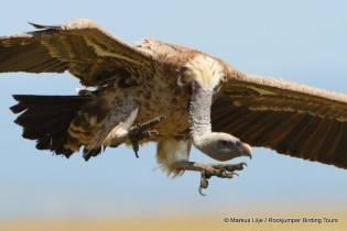 Rueppell's Vulture