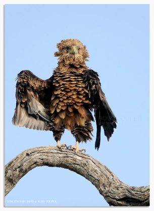 Ruffled Bataleur Eagle - Ross Couper Photography