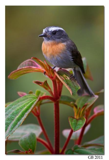 Rufous Breasted Chat Tyrant