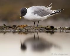 Sabine's gull. Copyright © Roy Mangersnes.