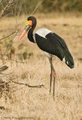 Saddle Bill Stork (2)