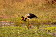 Saddle-billed-stork - 20Sept12 Londolozi