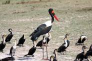 Saddle-billed Stork - Ephippiorhynchus senegalensis - male © by Gabriela Bujanowicz