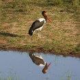 Saddlebill Stork male
