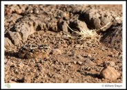 Sandgrouse chick
