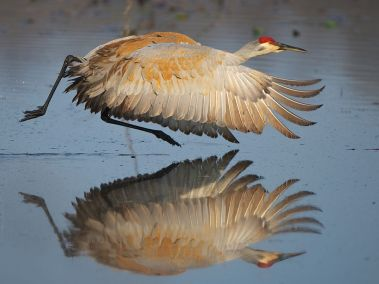 sandhill-crane-michigan_57277_990x742