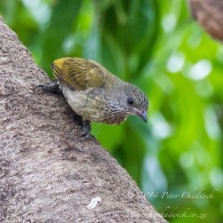 Scaly-throated Honeyguide.