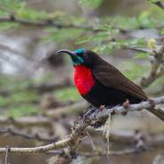 Scarlet-chested Sunbird- Chalcomitra senegalensis © by Jacek Nalepa