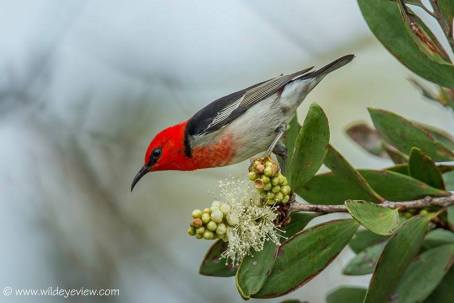 SCARLET HONEY EATER