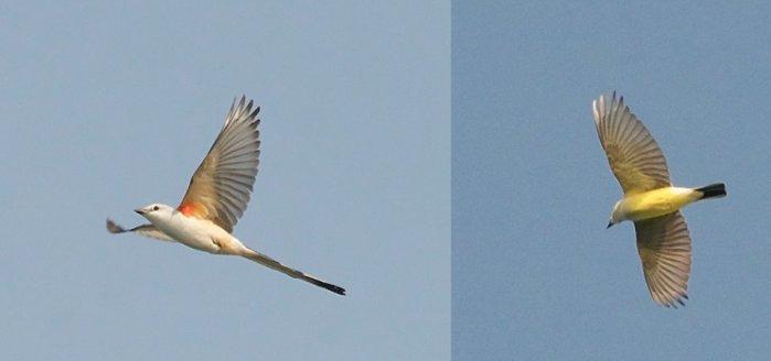 Scissor-tailed Flycatcher (2)