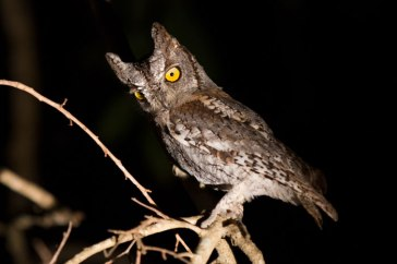Scops Owl in a Tamboti tree - Londolozi