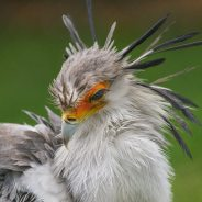 Secretary Bird by Joanne Young.