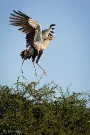 Secretary bird in the Serengeti