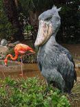 Shoebill Stork (2)